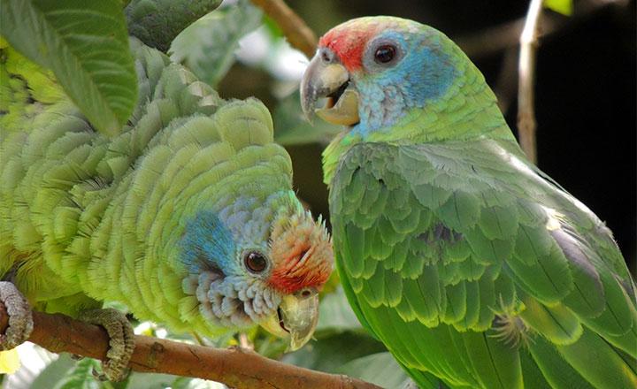 Papagaio-de-cara-roxa