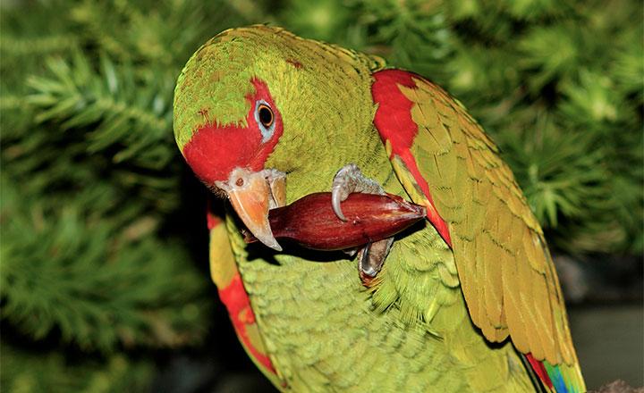 Papagaio-charao